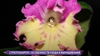 Как вырастить стрептокарпус? Советы цветовода