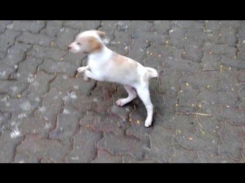 Cute Little Street Dog Puppy Playing On The Road Mumbai India 2014 [HD VIDEO]