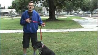 Teach Your Pit Bull How To Walk To Heal! Www.pros4dogs.com