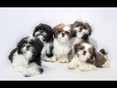 Top 10 Facts About Shih Tzushih Tzu Dog Breed Information Youtube