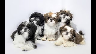 Top 10 facts about Shih Tzu(Shih Tzu Dog Breed Information)