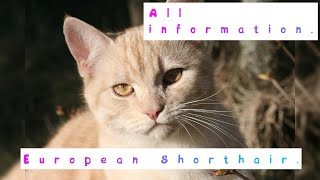 European Shorthair. Pros and Cons, Price, How to choose, Facts, Care, History