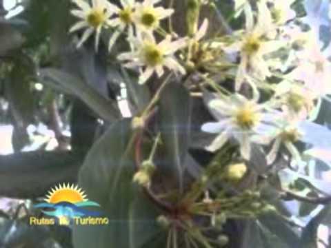 la flor de la canela