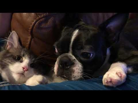bostonterrier and siberian cat