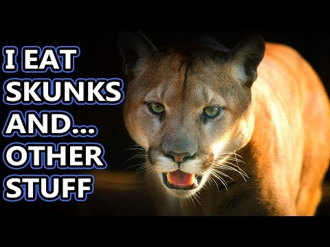 Cougar Facts: Also Puma Facts, Also Mountain Lion Facts, Not Panther Facts | Animal Fact Files