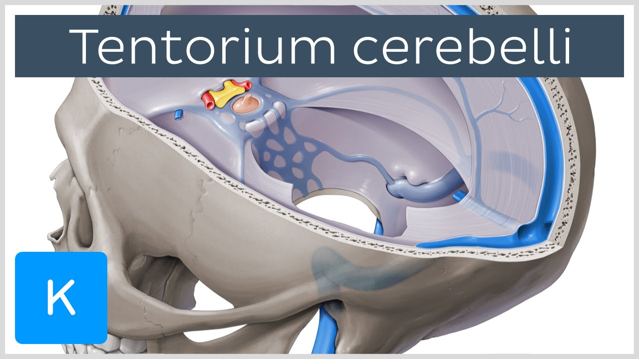 Tentorium cerebelli - Anatomy, Location, Function - Human Anatomy ...