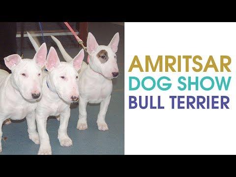 Watch world class miniature sized Bull Terrier dog breed in Amritsar Dog Show