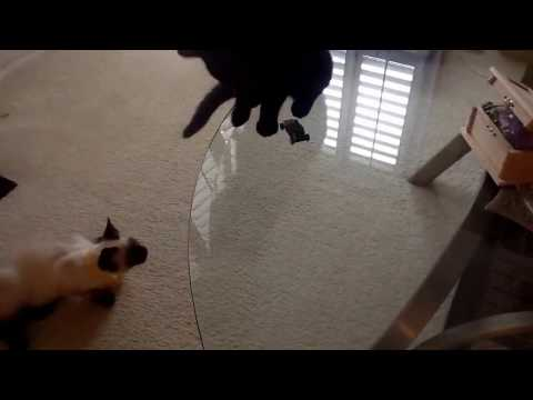 Cats playing with rc car