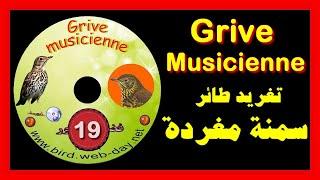 سمنة مغردة C D grive musicienne