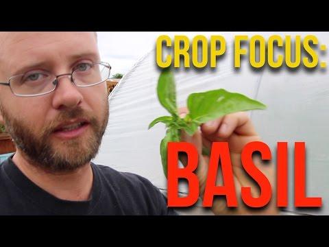 CROP FOCUS: Basil