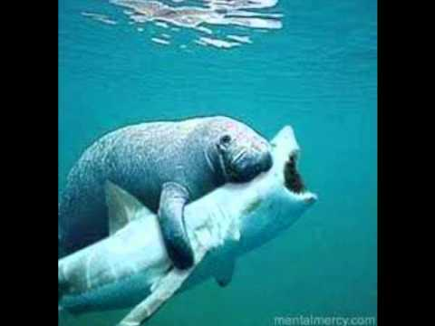 manatee attack  youtube shark clipart black shark clipart black