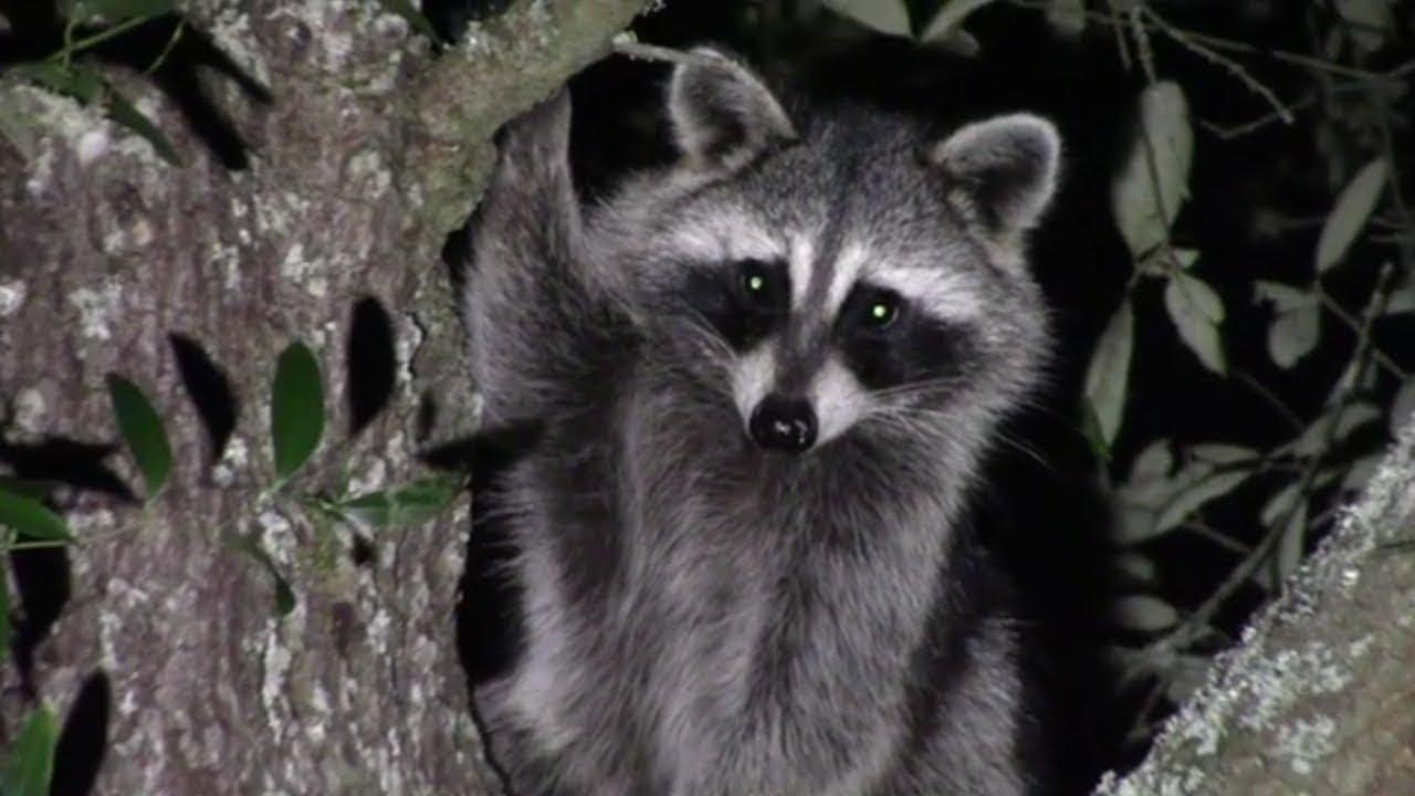 Raccoon In The Back Yard 11/2/2019 - YouTube
