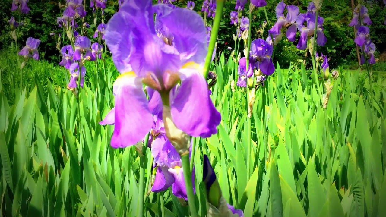 British Spring Blossoms Iris Flowers Blooming In Garden Iris