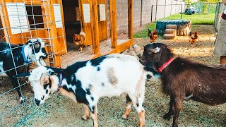 TWO boys fighting over a girl! 😂 (goat breeding season has started!)