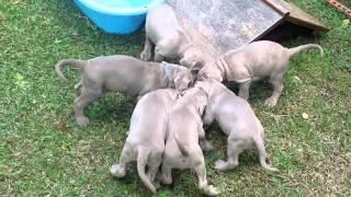 Tp005598385 Purebreed Tawny Neapolitan Mastiff Pups