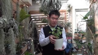 ヒドノフィツム(蟻の巣玉)の紹介・育て方