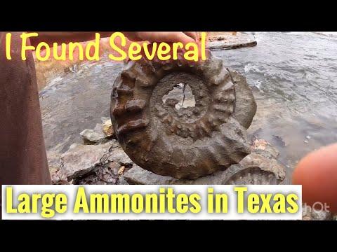 Found Huge Ammonites In Texas.