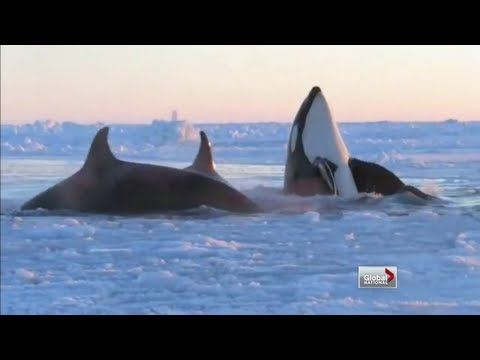 Global National - Campaign to save killer whales trapped by ice