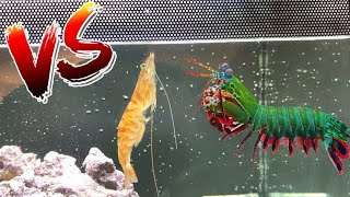 Giant Mantis Shrimp VS Giant Shrimp!