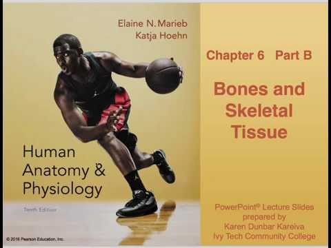 Anatomy and Physiology Chapter 6 Part B: Bones and Skeletal Tissue Lecture