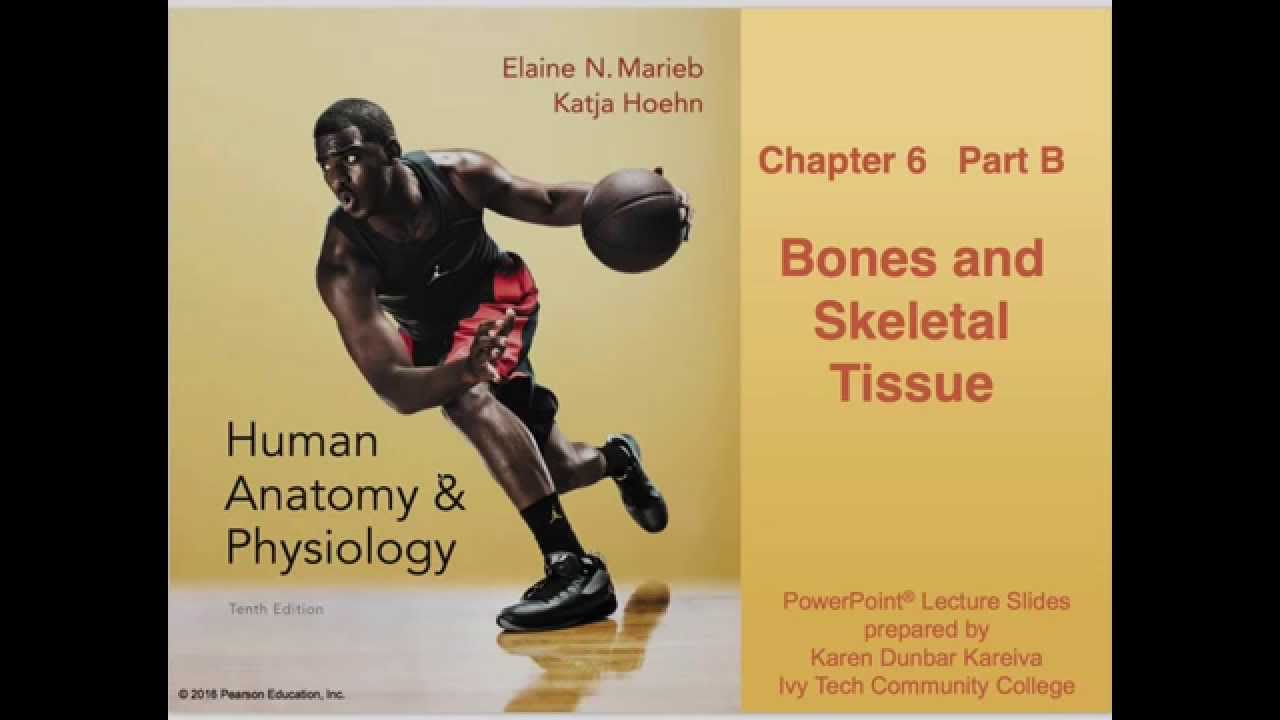 Anatomy and Physiology Chapter 6 Part B: Bones and Skeletal Tissue ...