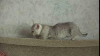 Munchkin Манчкин Кошки