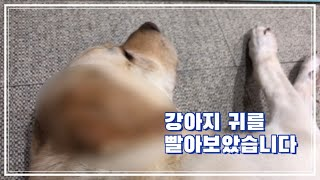 강아지 귀를 빨아보았습니다 | 강아지 약용샴푸 사용법
