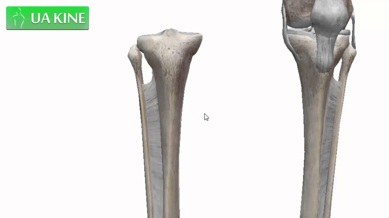 Anatomía de la Fibula o Perone - YouTube