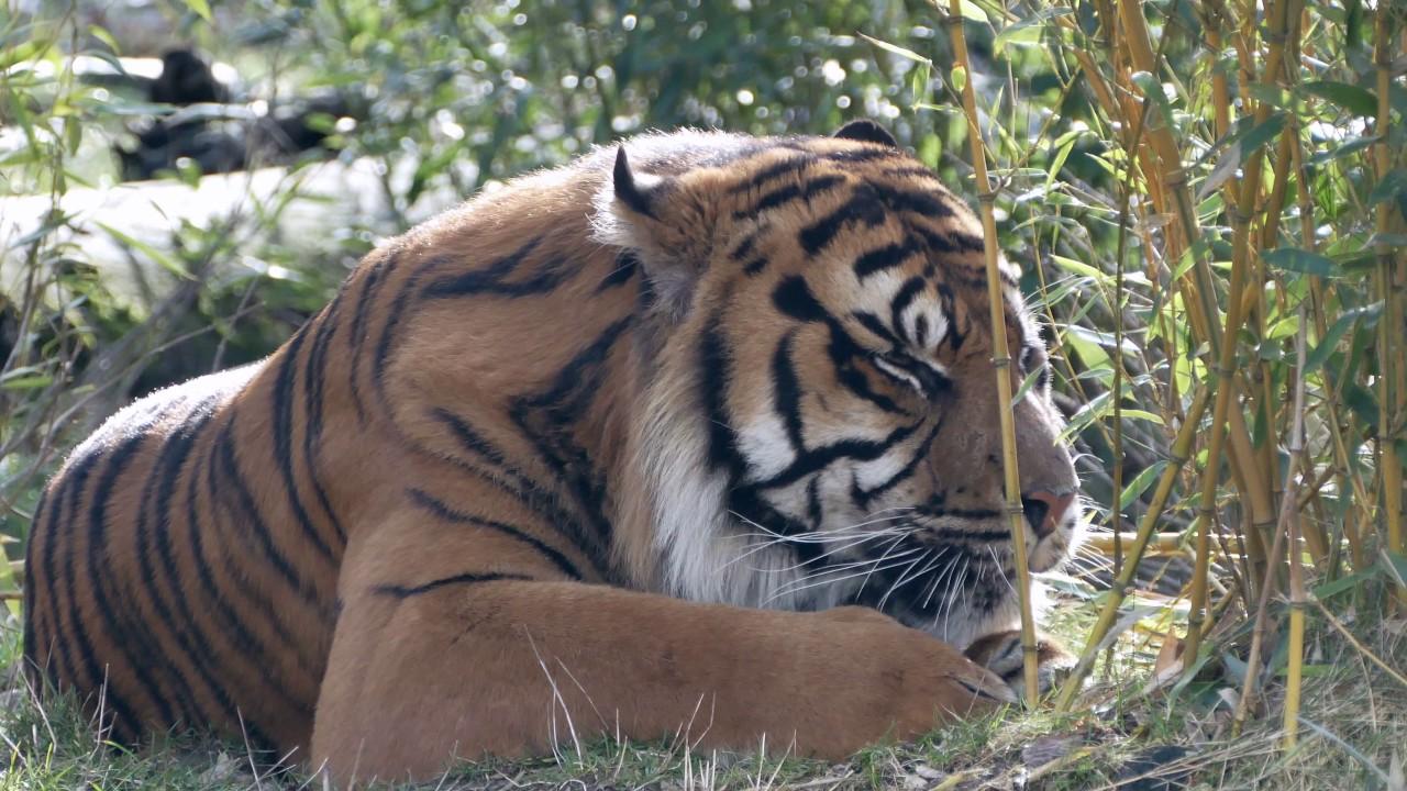 Tiger Edinburgh Zoo Live Cam