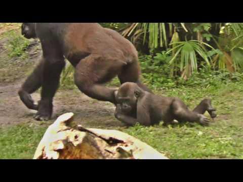 Funny Baby Gorilla Plays UHD 4K FYV