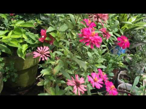 Three Flowering Plants You Can Easily Reproduce At Home (Philippines)