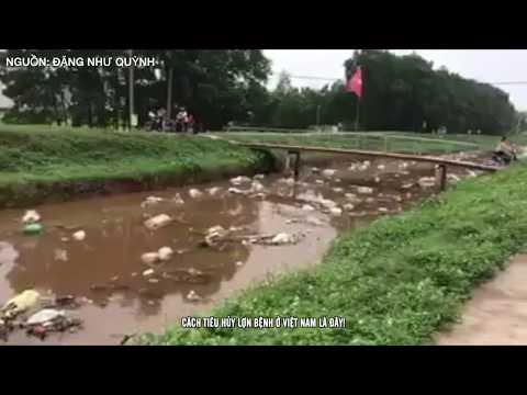 Cách tiêu hủy lợn bệnh ở Việt Nam là đây!