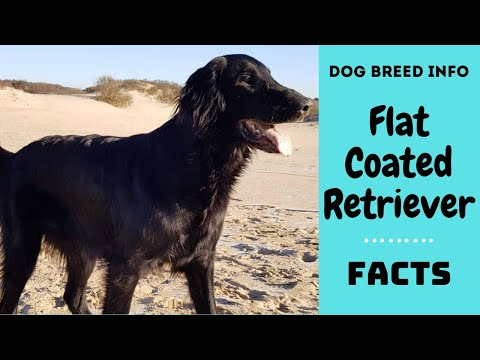 Flat Coated Retriever dog breed. All breed characteristics and facts about Flat Coated Retriever