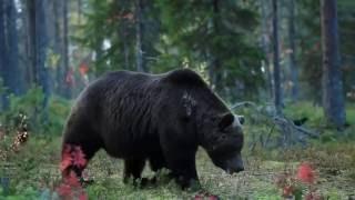 Медведи в дикой природе Финляндии(, 2016-11-29T11:53:00.000Z)