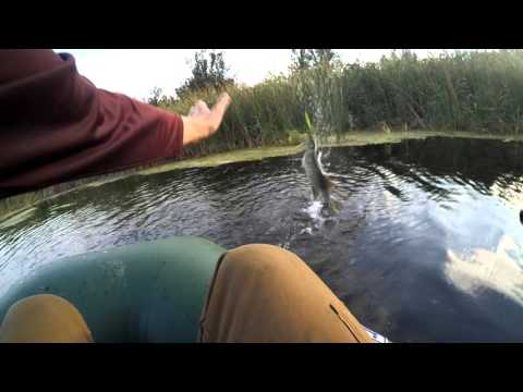 Воблер JACKALL Mud Sucker 110 matt tiger  и FISHYCAT POPCAT