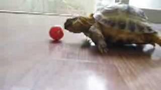 черепаха и помидор