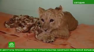 Ласковая, но с рахитом: в центре «Велес» начали откармливать львицу Симону