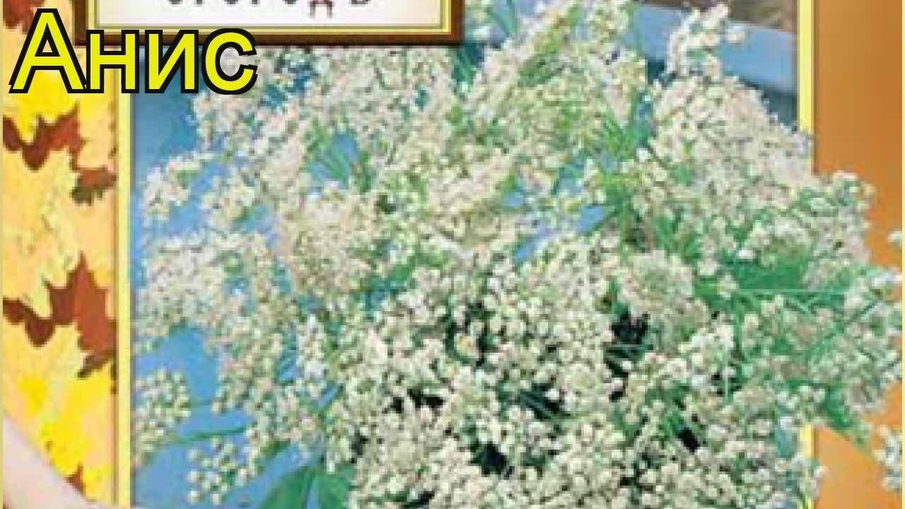 Анис . Краткий обзор: Анис описание характеристик, где купить семена