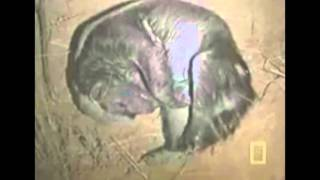 動物対毒蛇対決 animal fight viper(Poisonous snake)nature 野生動物の...