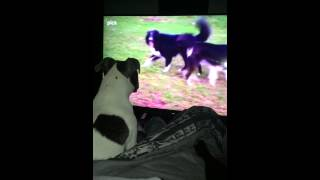 Puppy loves watching cesar millian cc