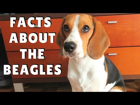 Beagles Facts - dogs 101 breed information, health and more
