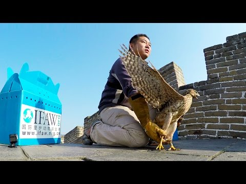 GoPro: IFAW - Releasing Raptors Off The Great Wall of China