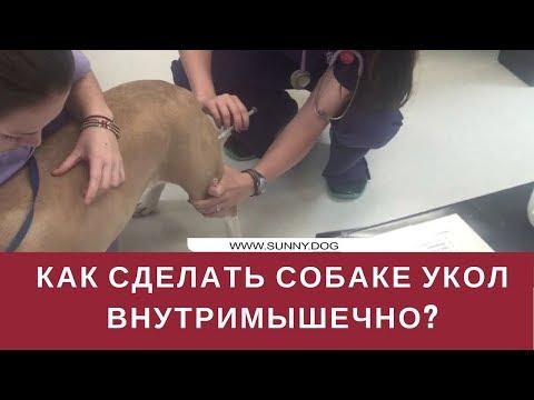 Как правильно делать укол собаке внутримышечно