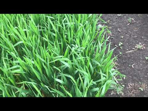 Опыты с нормами высева пшеницы от 1 до 5 млн с междурядием 19 и 38 см