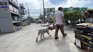 Edward | Giant Schnauzer | Best Trained Dogs in Oregon | Portland OffLeash K9 Training