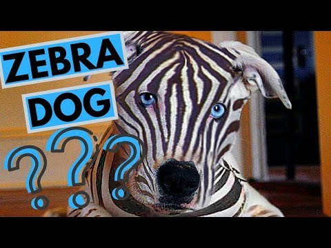 Is There A Dog Breed With Zebra Stripes? ROCADOG QNA 6