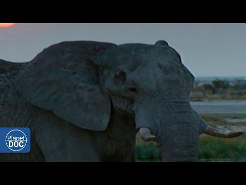 Los elefantes africanos: una codiciada especie