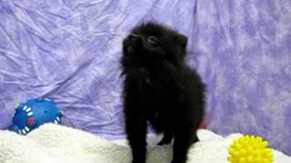 Black Pomeranian Puppy. Howling Lol