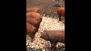 Post 390's Farm-to-Post Featuring Brambly Pig Farm of Norfolk, MA