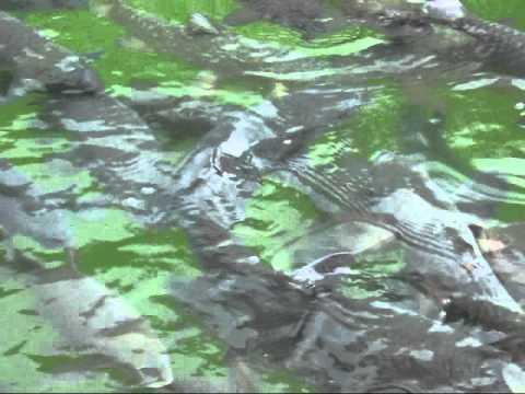 Mahseer Sungai Janiah